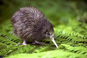 kiwi_bird2